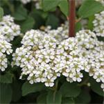 Spiraea-nipponica-Snow-Cover-150x150
